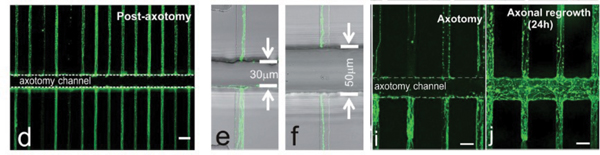 Proximal segments of axons showing regeneration formation in compartmentalized microfluidic devices.