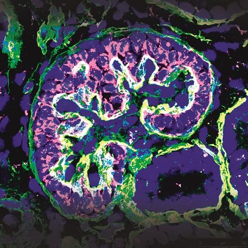 Pluripotency for organ regeneration – Institute for